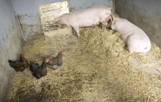 unseretiere-schweine01